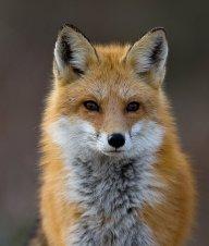 FoxThunder