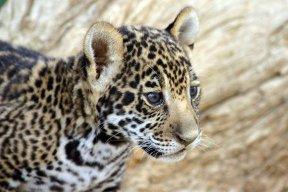 Jaguar88
